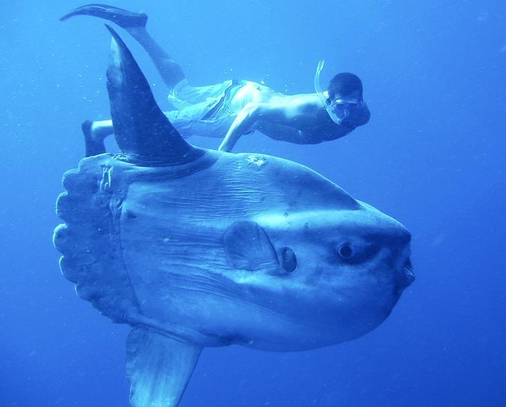 Лунарыба. 10 самых больших рыб в мире. Фото с сайта NewPix.ru