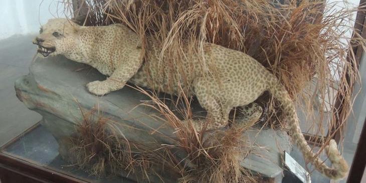 Занзибарский леопард животные, интересное, природа, человек
