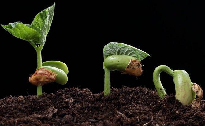 Как прорастить семена перца на рассаду