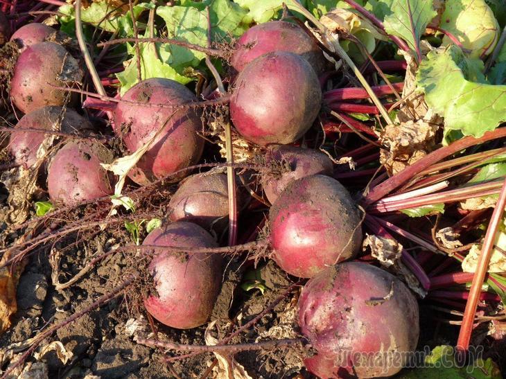 Как правильно выращивать свеклу в открытом грунте