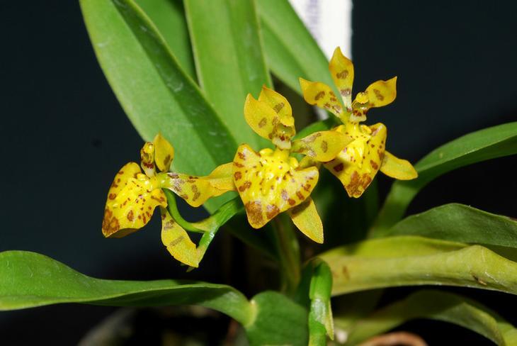 Онцидиум – уход в домашних условиях. Выращивание орхидеи онцидиум, пересадка и размножение. Описание. Фото