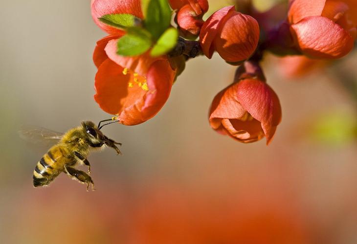 Опыление цветка пчелой