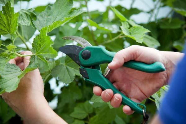 Как размножить смородину черенками летом