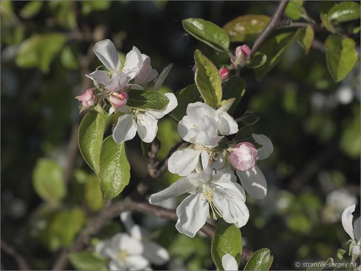 В краю цветущих диких яблонь