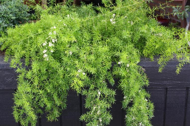 Аспарагус шпренгера комнатные растения