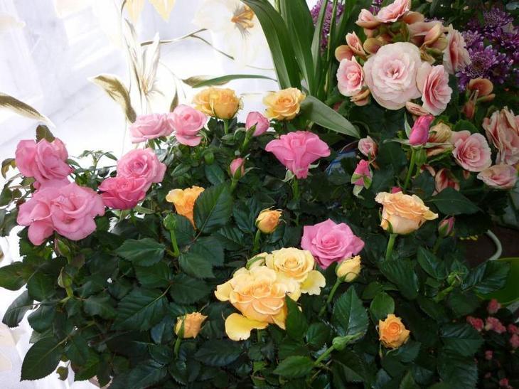 Разноцветные комнатные розы