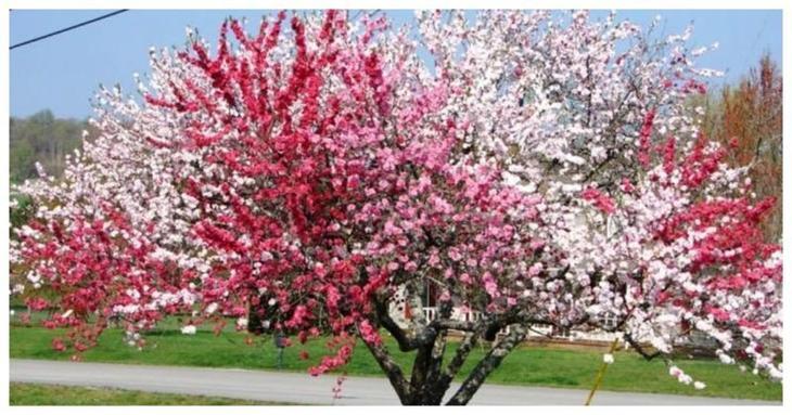 А, помимо множества плодов, туристов и садоводов привлекают такие деревья в период цветения - ведь они окрашиваются разными цветами - как по цвету, так по форме и запаху Фабрика идей, дерево-сад, интересное, растения, садоводство, факты
