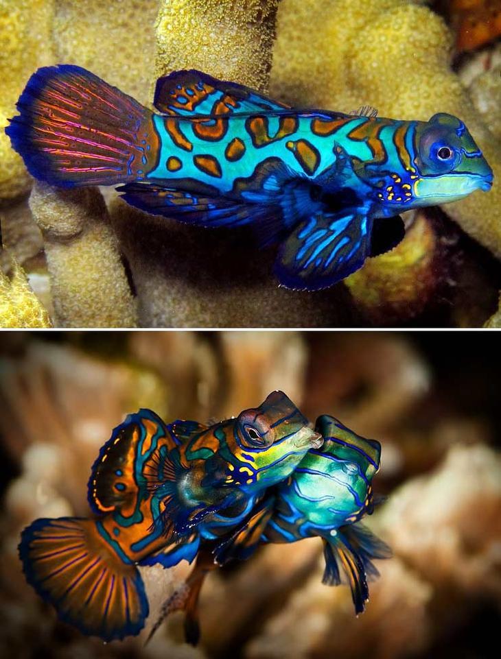 Рыбка Мандаринка. Красота созданная природой. Самые красивые животные планеты. Фото с сайта NewPix.ru