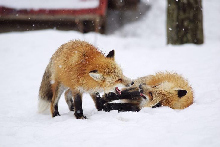 Удивительные животные лисы, фото