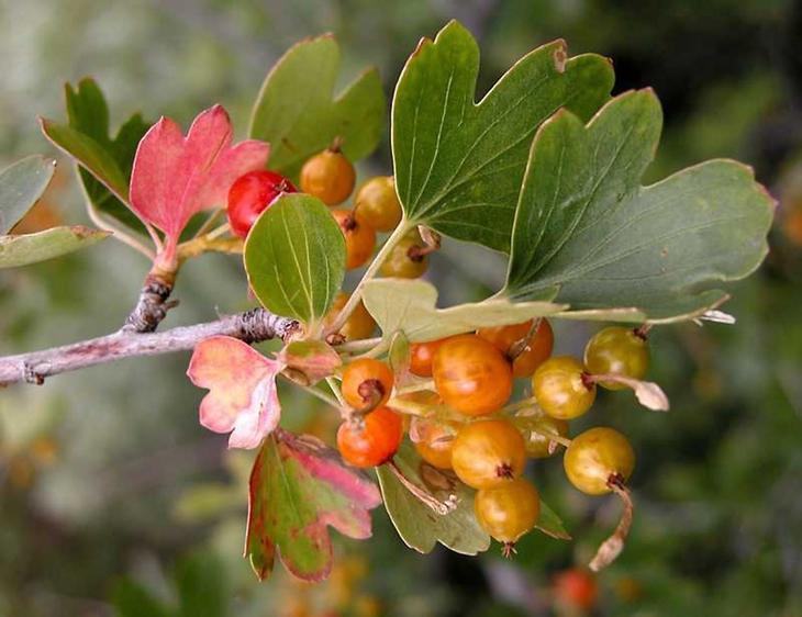 Смородина золотистая посадка и уход в открытом грунте летом