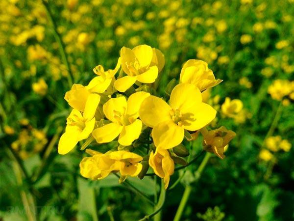 Горчица как сидерат (22 фото): чем лучше фацелии? Когда сеять и перекапывать белую горчицу как удобрение почвы огорода осенью?
