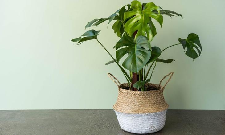 Монстера достаточно неприхотливое растение