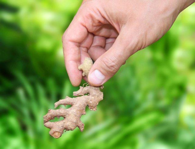 Как вырастить имбирь на даче: почва, сроки посадки, уход за корнем имбиря в огороде