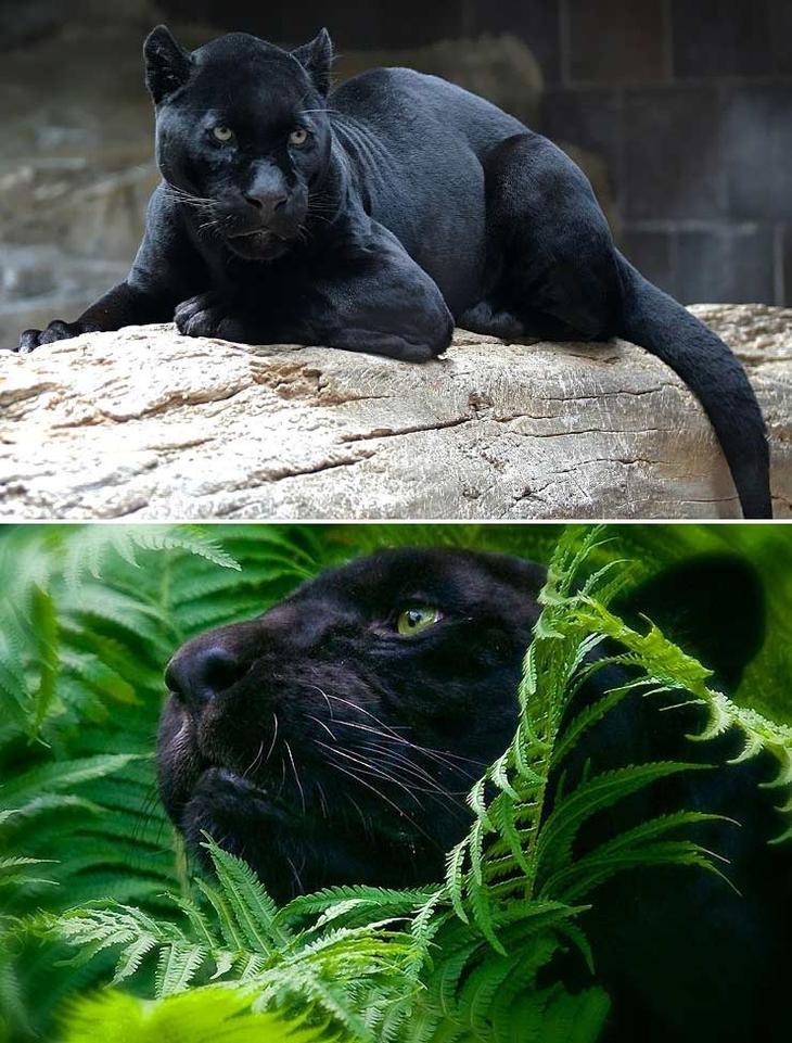 Черная пантера. Красота созданная природой. Самые красивые животные планеты. Фото с сайта NewPix.ru
