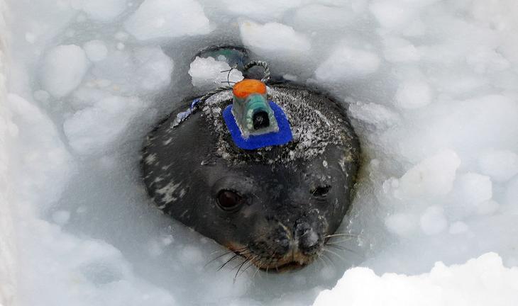 Тюлень-исследователь