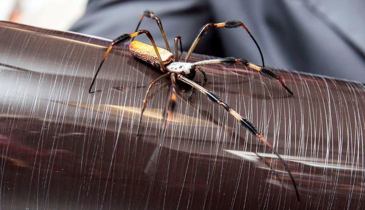 золотой шелкопряд паук