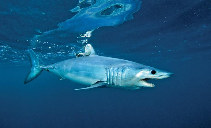 Акула мако . 10 самых больших рыб в мире. Фото с сайта NewPix.ru