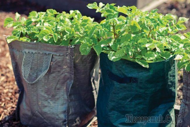 Экономим место выращиваем картошку в мешках