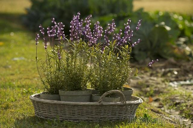 Секреты выращивания лаванды посадка и уход в домашних условиях