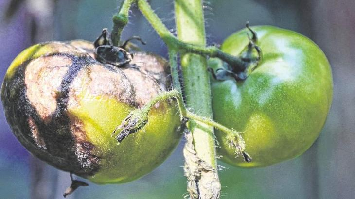 Борьба с фитофторой помидор