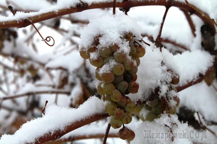 Как подготовить виноград к зиме правильно