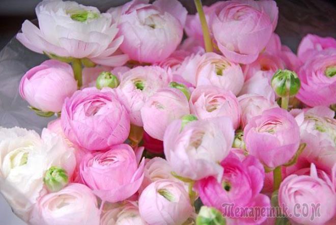 Фото цветы пион