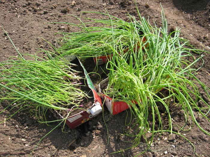 Как посадить лук чернушку семенами особенности выращивания
