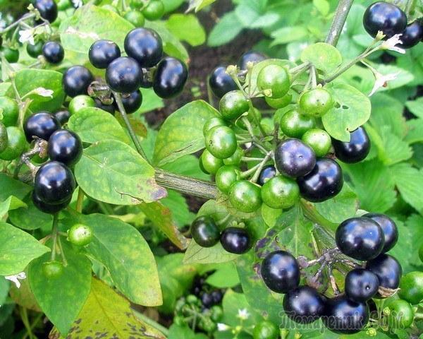Ягода самбери (санберри): полезные свойства и противопоказания, народные рецепты