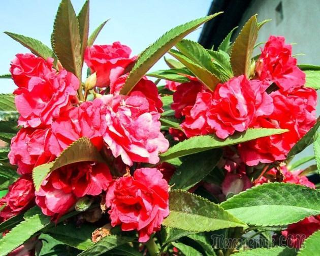 Бальзамин садовый - посадка и уход, выращивание из семян, уход зимой, фото, видео