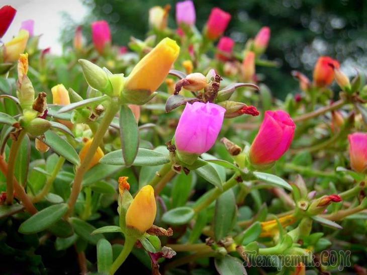 Портулакария Portulacaria afra  bonsaisu
