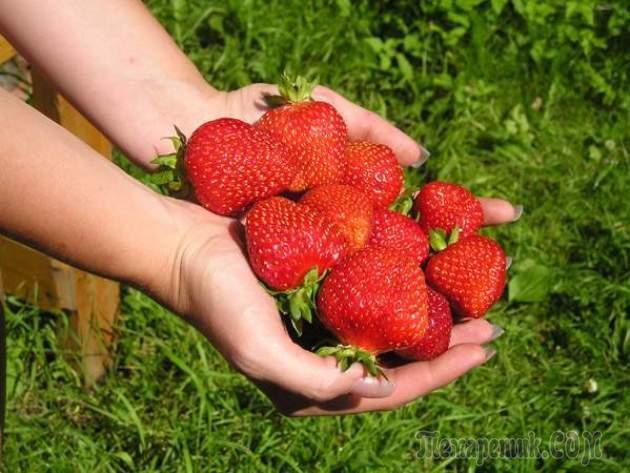 Посадка и выращивание клубники на садовом участке