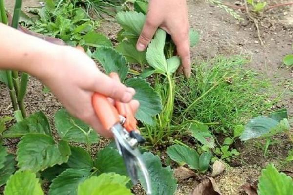 Как подготовить клубнику на грядке к зиме