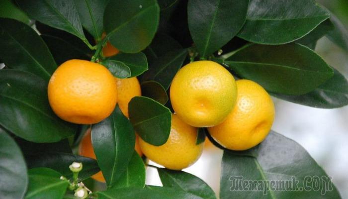 Цитрофортунелла Лимон — уход в домашних условиях, фото, видео.