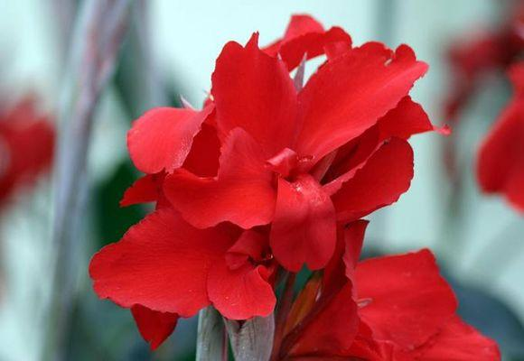 Посадка и уход за цветком канна