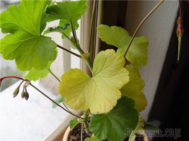 Объедены листья у цветов