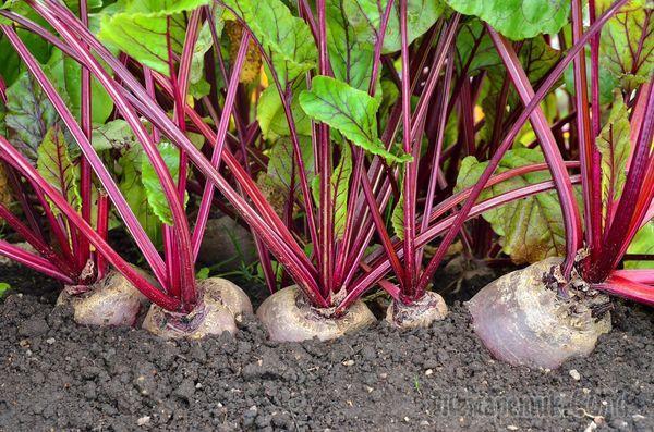 Как производится посадка свеклы когда сеять семена