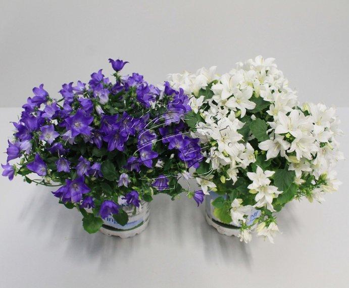 Кампанула цветок купить