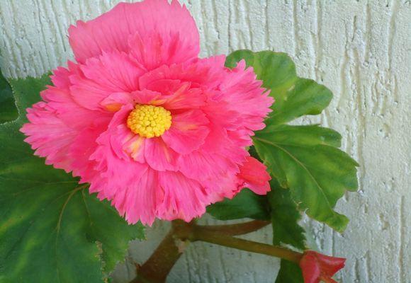Как посадить семена бегонии клубневой
