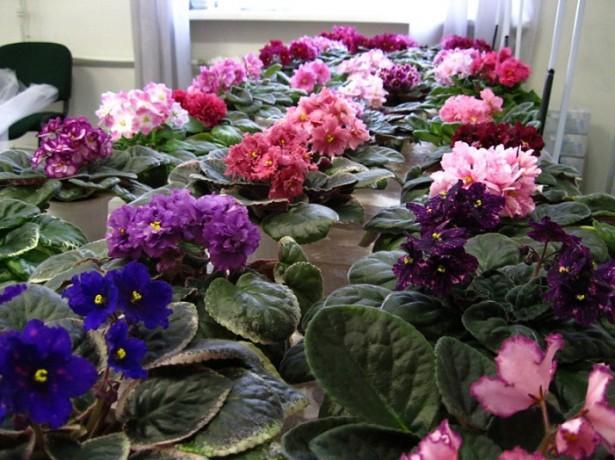 Правильный уход за фиалками гарантирует обильное цветение на вашем подоконнике || На каком окне лучше выращивать фиалки